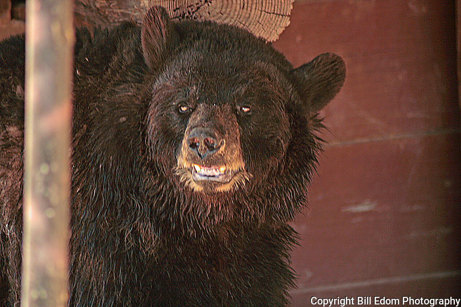 A Grinning Black Bear.