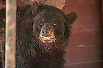 A Grinning Black Bear.