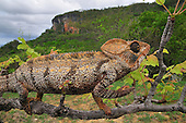 Male Malagasy Giant Madagascar or Oustalet's Chameleon walking along a branch (Furcifer oustaleti), Montagne des Français Reserve, Antsiranana, Madagascar.