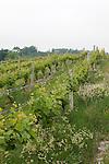 Chateau Chantal vineyards on the Old Mission Peninsula, Traverse City area, Michigan, USA