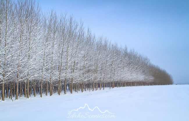 Idaho, North, Rathdrum. The edge of a planted grove of trees covered in a dusting of snow in the winter landscape.