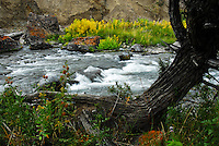 With sage in bloom in the background and a gnarled tree in the fore, water rushes down Rescue Creek in Yellowstone National Park.