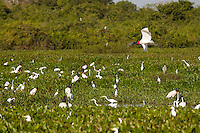 Jabiru Stork and Great Egrets in the Pantanal wetlands, Brazil