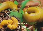 FB 389  Banana Slug. 5x7 postcard