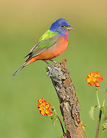 painted bunting on low, mesquite perch surronded by Texas lantana flowers