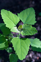 Chenopodium album aka pigweed, lambsquarter or lambs quarters, closeup of foliage leaves coming up from ground, annual weed - edible foraging plant