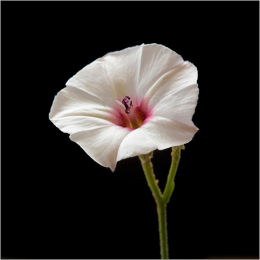 From the Morning Glory Family, Texas Bindweed is a Texas Wildflower that grows on a vine. It opens each day and closes in the evening. It's root system spreads easily, thus making it hard to eliminate. It also hold the name Possession Vine, which accounts for this characteristic. It is established almost worldwide.