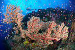 Spectacular reef scene showing sea fan (Semperina sp.) with diver and anthias at Barney's reef, Witu Islands