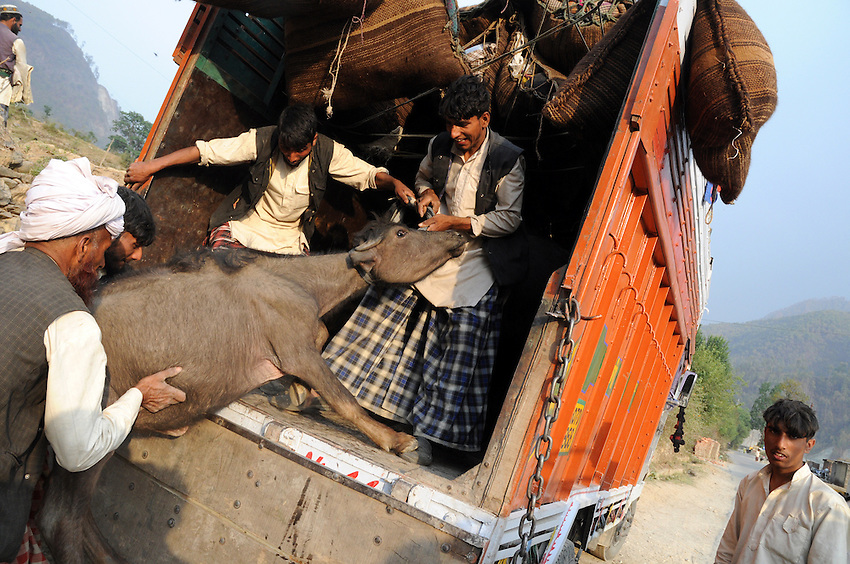 For one particularly long stretch of road, a Van Gujjar family hires a truck to carry their young buffaloes and their children.