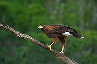 541950096 a wild harris hawk parabuteo unicinctus perches on a dead snag on santa clara ranch starr county texas