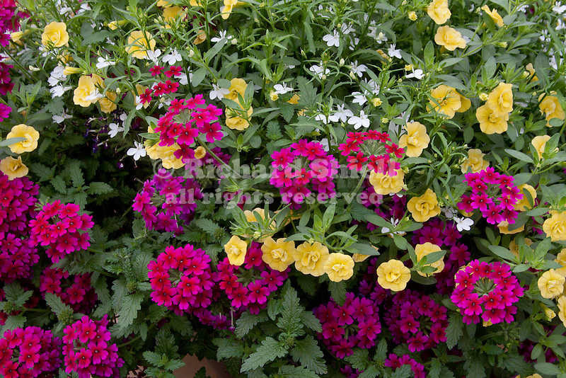 34262 czd trixi double delight annuals mix lobelia - Calibrachoa trixi ...