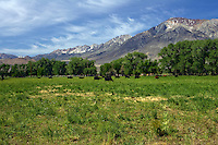 Cows graze in a meadow along the base of the Eastern Sierra Nevada, California.