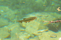 Brook Trout at Hanging Lake in Colorado in 2009.