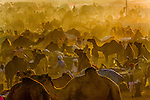 The chaos of the Pushkar Camel Fair creates a curvy pattern in the dust kicked up by the participants, India.