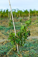 New vine growing at Chateau Fontcaille Bellevue in Bordeaux wine region of France