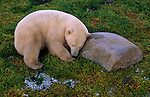A polar bear sleeps on the green tundra grasses in Churchill, Manitoba, Canada.