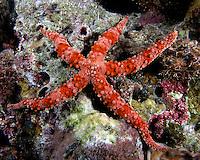 Red Komodo Starfish.