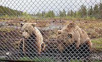 Bears. Søss og den kastrerte hannbjørnen Bjørn er søsken, født i 2005.