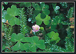 FB 171. 5x7 postcard, redwood sorrel