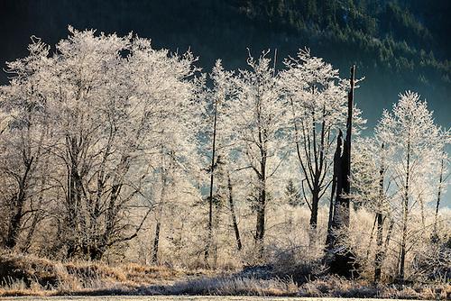 Frost-Glazed Trees, Morning, Deming, Washington
