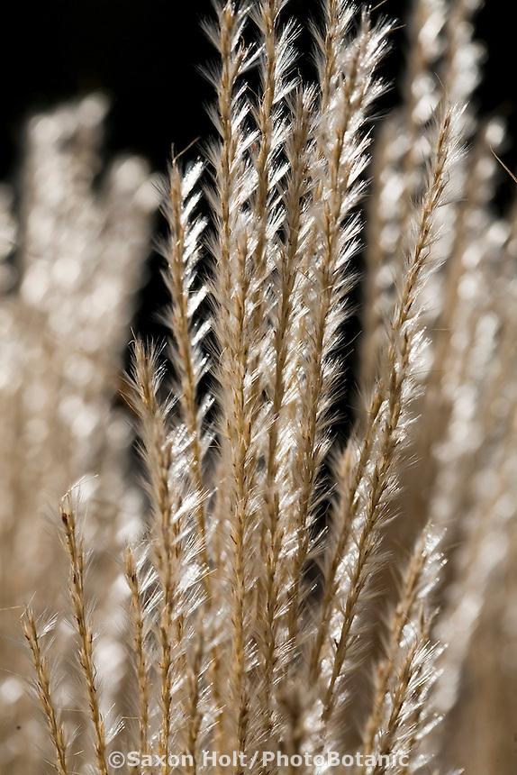 Maiden Grass (Miscanthus sinensis 'Nippon') silver backlit grass in meadow garden