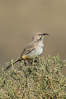 581970014 a wild lecontes thrasher toxostoma lecontei perches on a desert plant in kern county california united states
