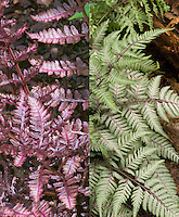 Athyrium 'Burgundy Lace' fern in two phases, in bright colored May spring, and in summer more silvered