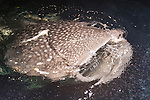 Kalhufahalafushi Island, Thaa Atoll, Maldives; a Whale Shark (Rhincodon typus) feeding on plankton at the surface, which was attracted to the lights behind the boat at night