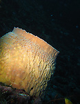 Orchid Island, Taiwan -- Yellow barrel sponge in the dark.