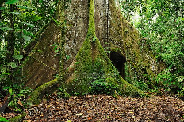 Kapok tree (Ceiba pentandra), Aerial roots, Ecuador, South America