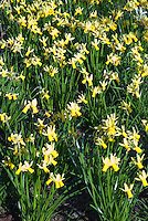 Narcissus 'Jumblie' AGM Division 12 daffodils in yellow and white spring flowering bulbs bloom