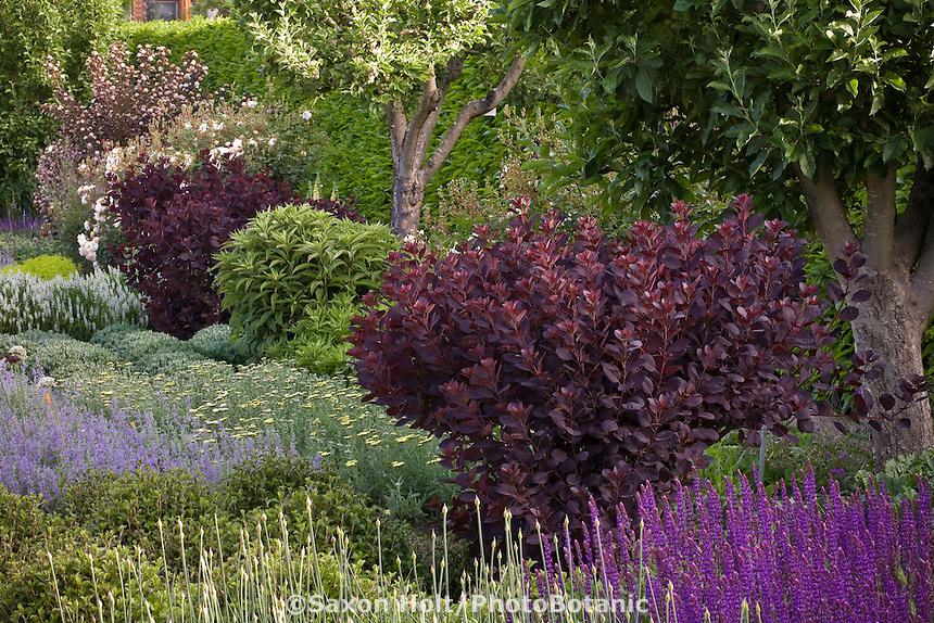 Cotinus coggygria 'Royal Purple' purple foliage shrub in mixed garden border, Filoli