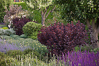 Cotinus coggygria 'Royal Purple' purple foliage shrub in mixed garden border, Filoli