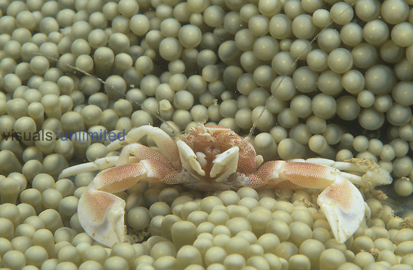 Porcelain Crab ,Neopetrolisthes maculatus, on a Sea Anemone, Fiji, Pacific Ocean.
