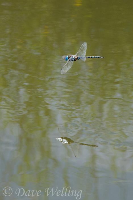 339360069 a wild male blue-eyed darner rhionaeschna multicolor in flight patrol over a small stream in inyo county california