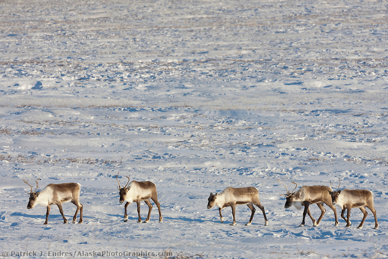 Caribou travel across the snow covered tundra in the Atigun Canyon, Brooks range mountains, arctic, Alaska.