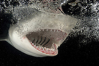 "A Lemon Shark, Negaprion brevirostris, says ""Ahh"", displaying an abundance of needle-sharp teeth that are designed primarily for grasping fish. Little Bahama Bank, Bahamas, Atlantic Ocean"