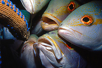 MARINE LIFE<br /> Close up of group of yellowtail snapper<br /> Diver's finger attracts a group of yellowtail snapper. Abundant and popular game fish found commonly distributed along North American Atlantic coast and the Gulf of Mexico.