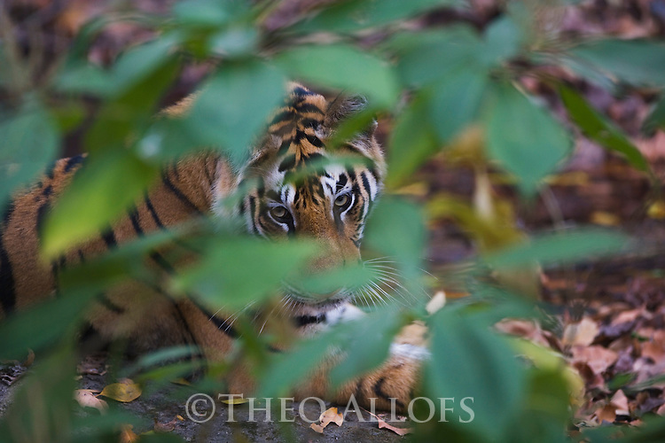 India, Bandhavgarh National Park, 17 months old Bengal tiger cub behind leaves in cool, shady area near water hole during heat of day, dry season