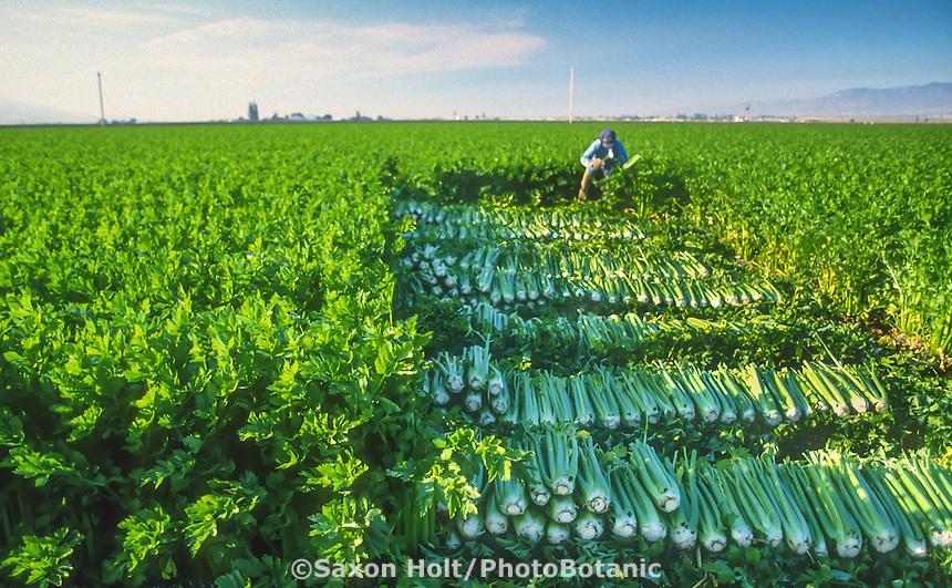 Field worker harvesting celery in Salinas Valley, California farm