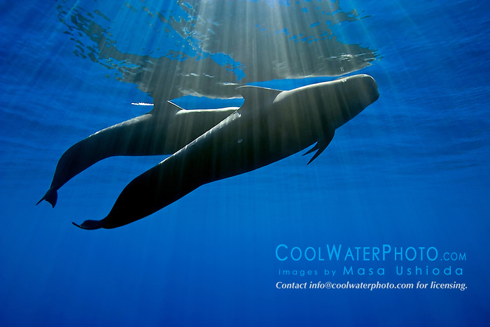 silhouette of short-finned pilot whales, Globicephala macrorhynchus, Kona Coast, Big Island, Hawaii, USA, Pacific Ocean