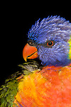 A Rainbow Lorikeet (Psittacidae: Trichoglossus haematodus) preens itself after a bath.  These birds are a common and pugnacious species in suburban gardens. Wild birds are found from the Kimberley area of Western Australia (with an orange collar), eastwards across coastal northern Australia and down the east coast to Victoria. A woodland species, birds may be nomadic, gathering nectar especially from flowers of Eucalyptus trees, which is gathered with a brush-tipped tongue. Brisbane, Queensland, Australia.   //  Rainbow  Lorikeet - Length to 30cm; wingspan to 65cm;  Distribution -  many subspecies throughout the area from indonesia through New Guinea to the south-west Pacific and Australia.  //Eric Lindgren//