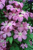 Clematis 'Comtesse de Bouchard', pink flowering perennial vine