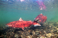Chinook Salmon Spawning<br />