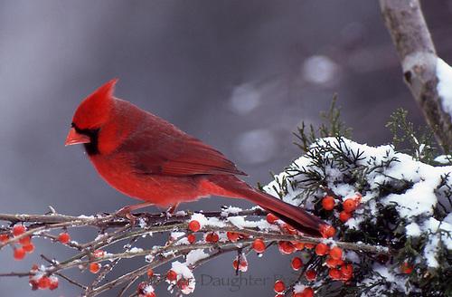 Cardinal with berries and snow, profile, Missouri USA
