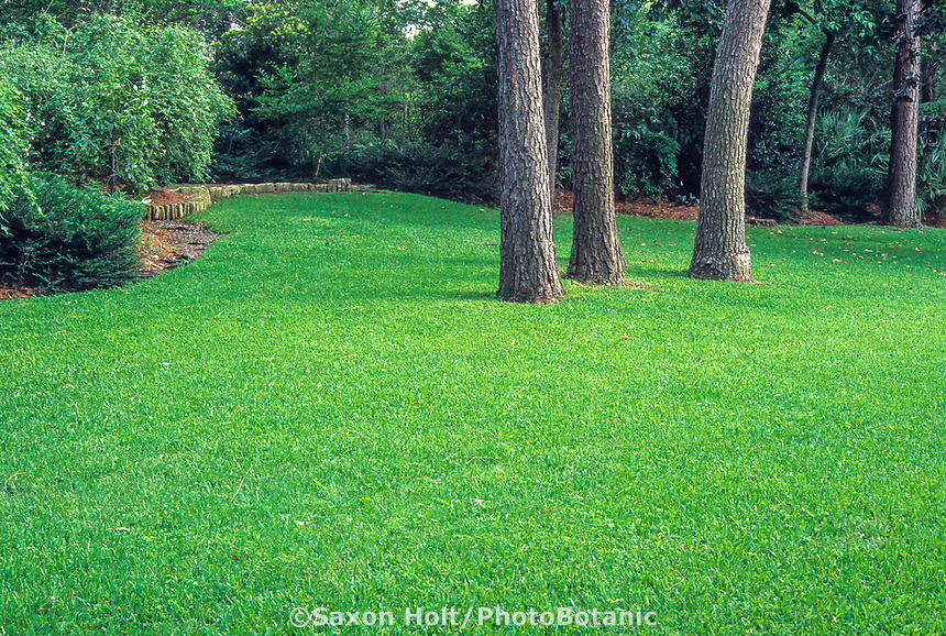 Lush green lawn of St. Augustine (Stenotaphrum secundatum) - warm-season lawn for southern and subtropical gardens