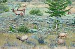 Elk Herd at Dawn, Lower Mammoth, Yellowstone National Park, Wyoming