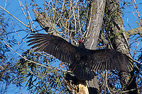 591263010 a wild turkey vulture cathartes aura a scavenging raptor spreads its wings in the morning sun to heat its body in sacramento national wildlife refuge in california