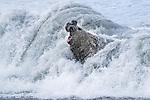 South Georgia Island, St. Andrews Bay, southern elephant seal (Mirounga leonina)