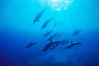 spinner dolphins, .Stenella longirostris, .swimming through a thermocline layer, .Kona, Big Island, Hawaii (Pacific).